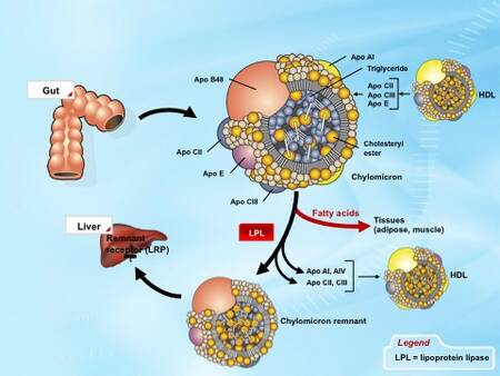 the chylomicron relationship to atherosclerosis